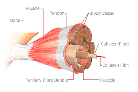 Tendon_Structure